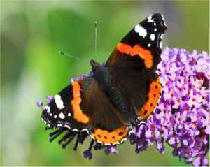red_admiral_jb1