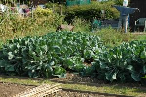 East.Harpenden.Allotment.Holcroft