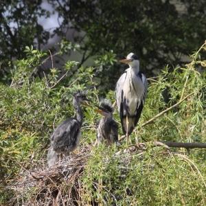 11-5-heron
