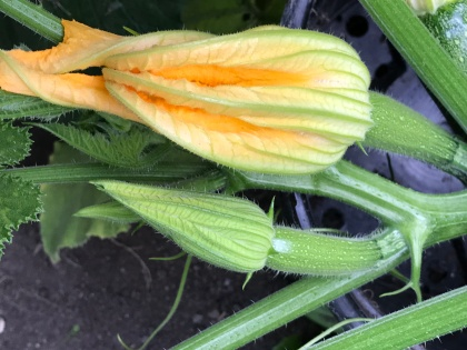 courgetteflowers