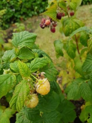 yellowberries