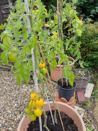 yellowtomatoes