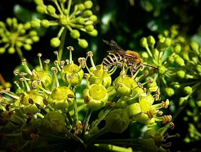 Chloe Valerie blog - Bee on ivy flowers - credit Chloe Valerie