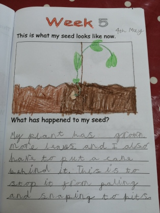 Lockdown competition - Bethany age 7 and seed diary 2